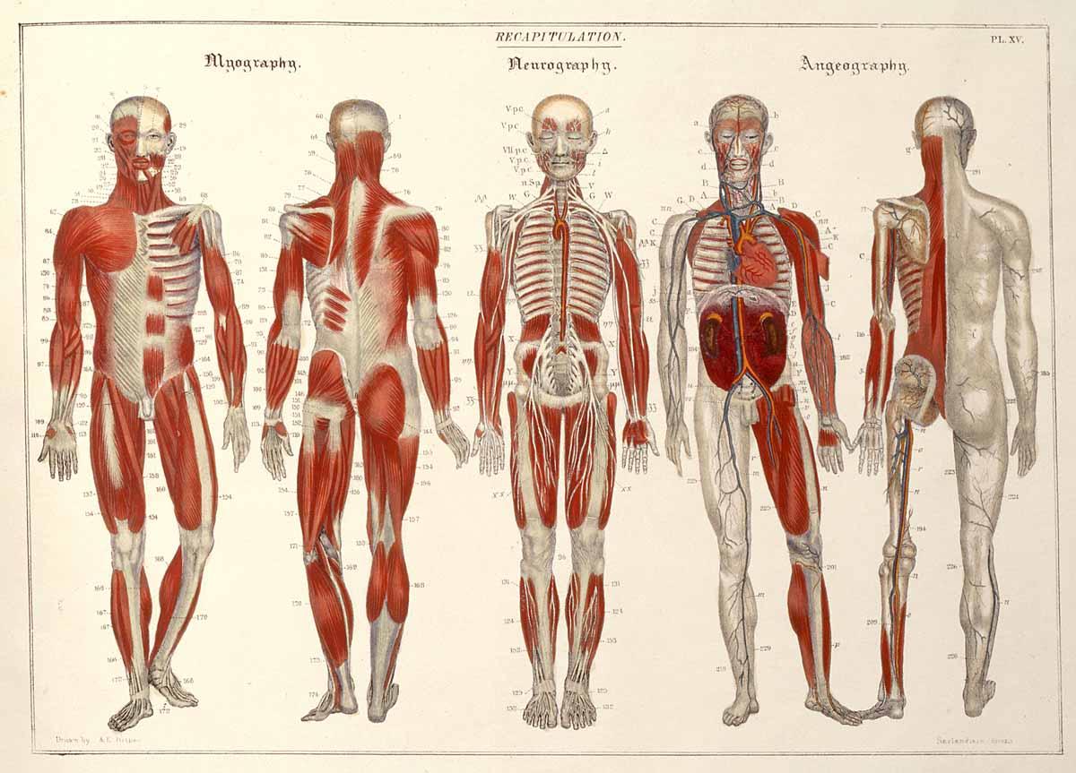 neuro vascular muscular